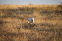 Front view of english setter Royalty Free Stock Photos