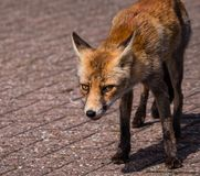 Front view of a young fox in late summer Royalty Free Stock Images