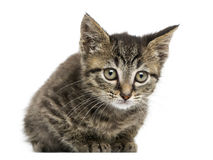 Front view of an European shorthair kitten lying Stock Photos