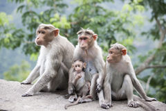 Front view. A family of Rhesus Macaques sitting near a highway in India Royalty Free Stock Photo