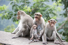 Front view. A family of Rhesus Macaques sitting near a highway in India Royalty Free Stock Image