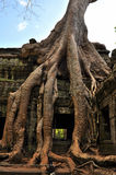 Front View of the Famous Old Tree in Wat Ta Prohm Royalty Free Stock Photos