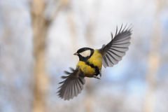Front view of flying Great tit Royalty Free Stock Images