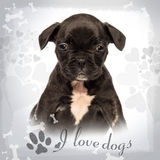 Front view of a French bulldog puppy sitting Royalty Free Stock Photo