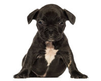 Front view of a French bulldog puppy sitting Stock Photos