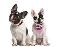 Front view of French Bulldogs sitting together Stock Photos