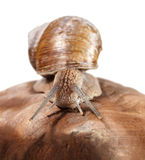 Front view of garden snail Royalty Free Stock Photo