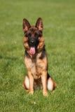 Front view of German Shepherd Stock Photo