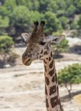 Front on view of a Giraffa camelopardalis rothschildi against green foliage. Head and neck only. Royalty Free Stock Photo