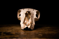 Front view of goat's skull Stock Image