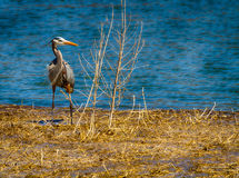 Front view of a Great Blue Heron. A Great Blue Heron in the Spring in Montezuma Wildlife refuge in Upstate New York Stock Image