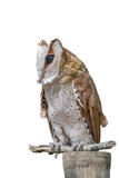 Front view of Great Horned Owl, Bubo Virginianus Subarcticus, st Royalty Free Stock Photos