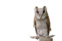 Front view of Great Horned Owl, Bubo Virginianus Subarcticus, st Stock Images