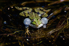 Front view of green frog with balloons Stock Images