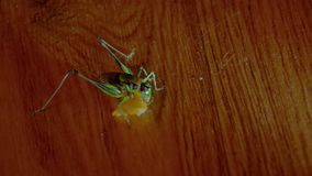 Front view of green grasshopper eating junk food chips . stock footage