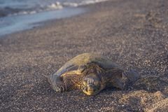 Front View of Green Sea Turtle Stock Photos