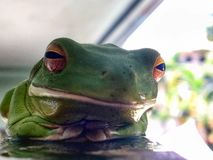 Front view of Green tree frog Royalty Free Stock Photography