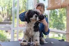 Front view of grooming the neck of the American Cocker Spaniel Dog. By Electric Hair Cutting Machine. Dog is standing on the grooming table. All potentional royalty free stock photo