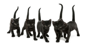 Front view of a Group of Black kitten Royalty Free Stock Photo