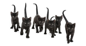 Front view of a Group of Black kitten Royalty Free Stock Image
