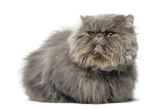 Front view of a grumpy Persian cat, lying, looking away