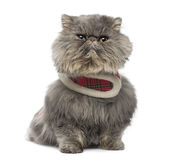 Front view of a grumpy Persian cat wearing a tartan harness Stock Images