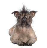 Front view of a Hairless Mixed-breed dog, mix between a French bulldog and a Chinese crested dog, lying and looking at the camera. In front of white background stock photo