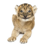 Front view of a happy Lion cub lying, 16 days old, isolated Royalty Free Stock Photos