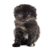 Front view of a Highland fold kitten looking at the camera Stock Photography