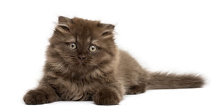 Front view of an Highland fold kitten lying, isolated Royalty Free Stock Images