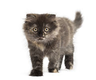 Front view of an Highland fold kitten walking, isolated Stock Photo