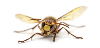 Front view of an Hornet Royalty Free Stock Image