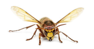 Front view of an Hornet Stock Photos