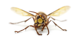 Front view of an Hornet royalty free stock images