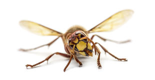 Front view of an Hornet Royalty Free Stock Photos