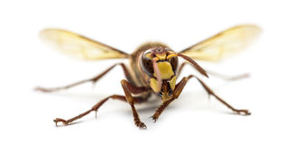Front view of an Hornet Stock Image