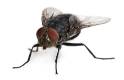 Front view of Housefly, Musca domestica Royalty Free Stock Photography