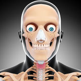 Front view of human head skeleton Stock Photo
