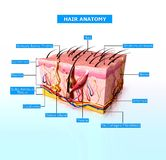 Front view of Human skin cutway diagram Royalty Free Stock Images