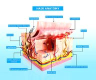 Front view of Human skin cutway diagram Stock Photo