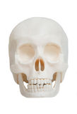 Front view of the human skull isolated Stock Images