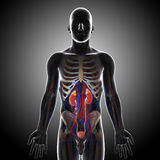 Front view of human urinary system in gray x-ray. 3D art illustration of anatomy of front view of human urinary system in gray x-ray Stock Images