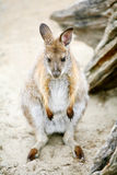 Front view of kangaroo sitting on ground Royalty Free Stock Photo