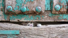 Small kitty head leg through old wooden door hole Stock Images