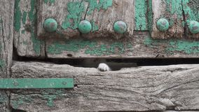 Small kitty leg through old wooden door hole. Front view of kitty leg trying to escape through old wooden door hole stock video