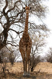 Front View of Large Strong Bodied Giraffe standing next to trees Royalty Free Stock Photos