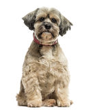 Front view of a Lhasa apso sitting, looking at the camera Stock Photo