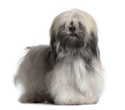Front view of Lhassa Apso, standing Stock Photography