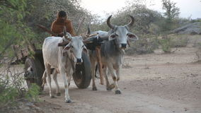 Front view of local Indian man riding on a carriage carried by cattle. stock video footage