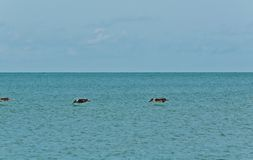 Three brown pelicans low, over  tropical water. Front, view,long distance of three brown pelicans flying, low over tropical water at the edge of a sandy stock photo